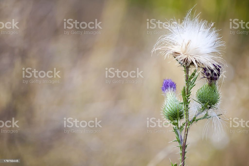 one Thistle flower royalty-free stock photo