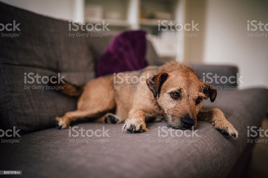 One Tired Dog on a Sofa stock photo