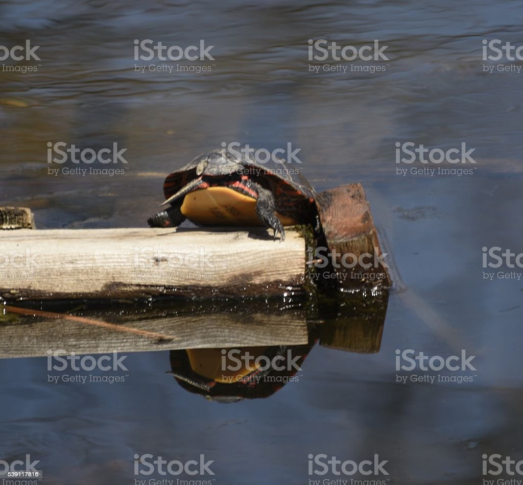 one tortoise tail as it dives into the water stock photo