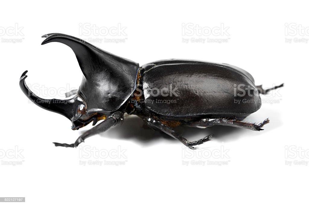 One tough beetle stock photo