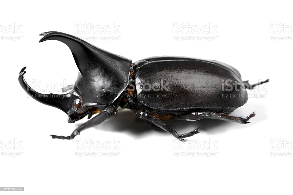 One tough beetle stock photo