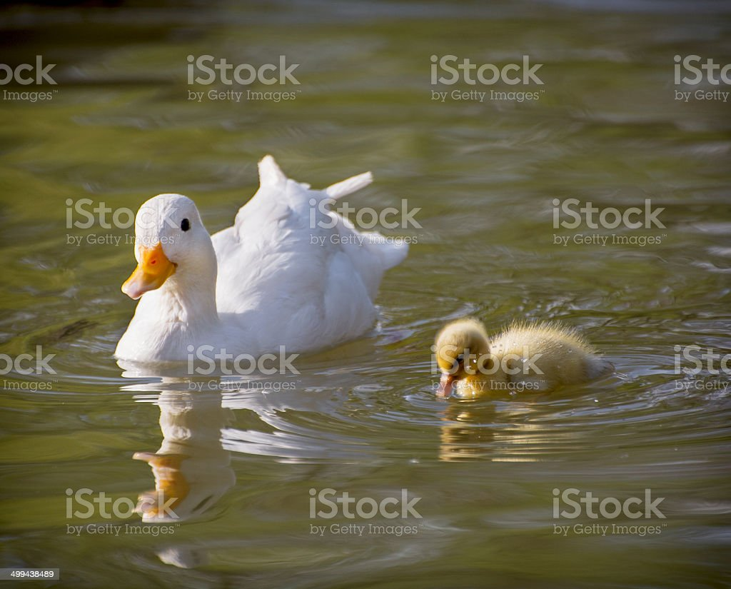 One white duck with her duckling stock photo