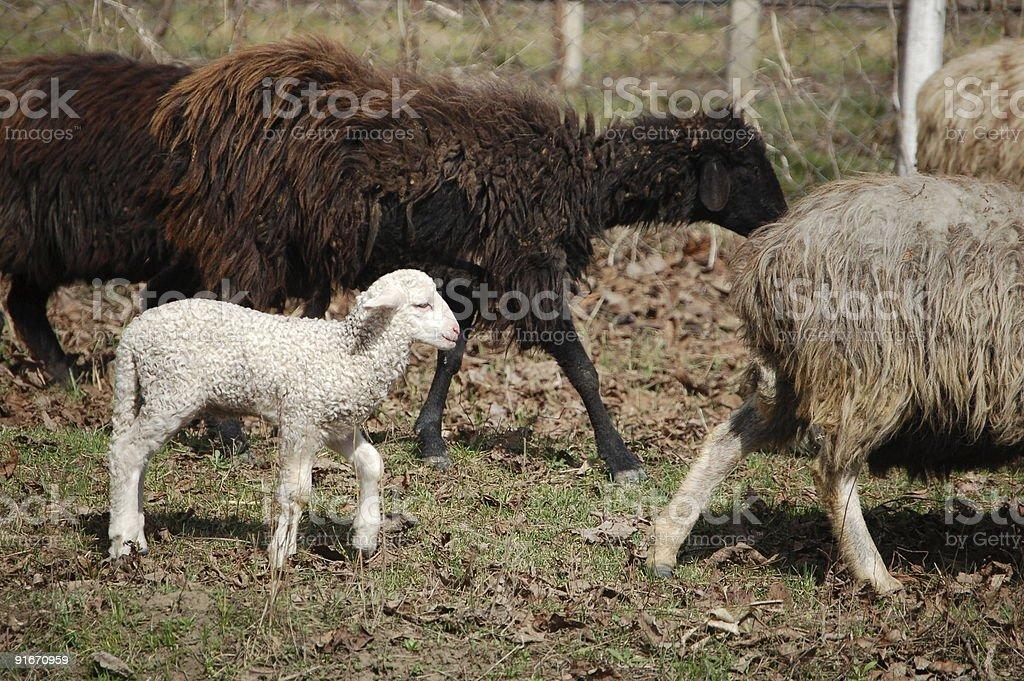 One White Lamb stock photo