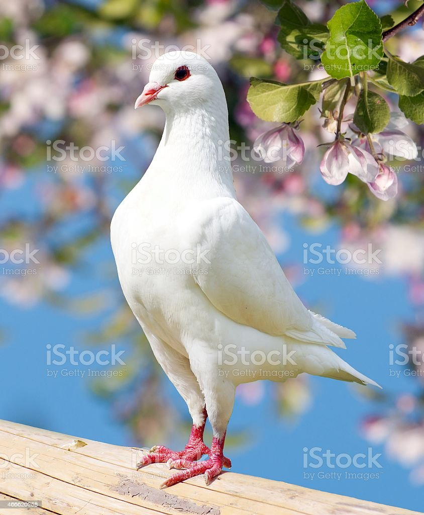 one white pigeon on flowering background - imperial pigeon - ducula stock photo