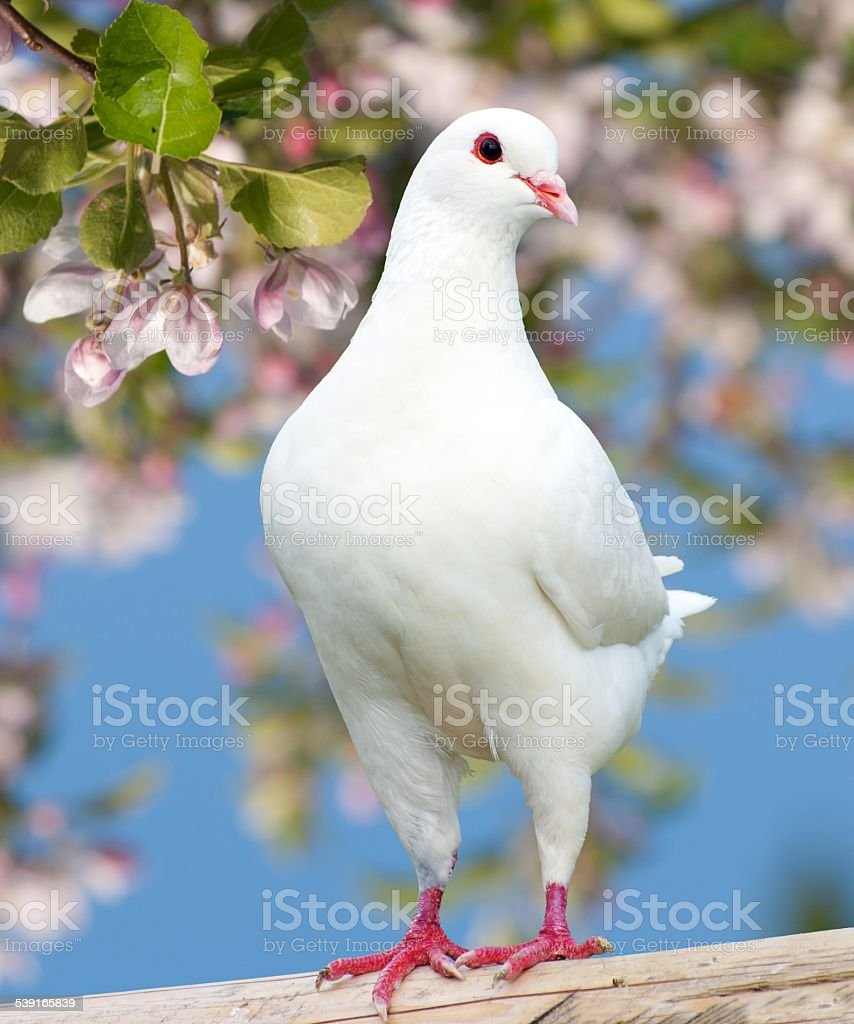 one white pigeon on flowering background stock photo