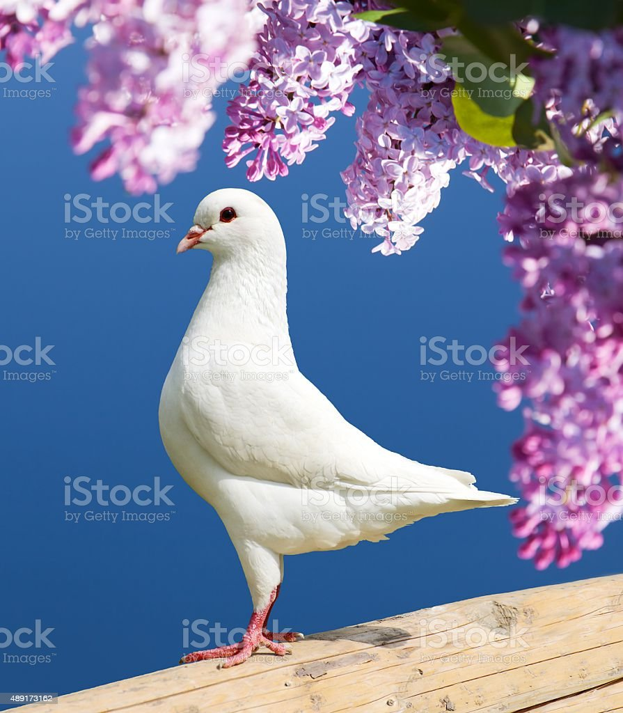 one white pigeon on perch with flowering lilac tree background stock photo