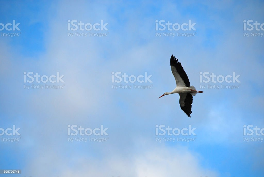 One White Stork flying in the mid air. stock photo