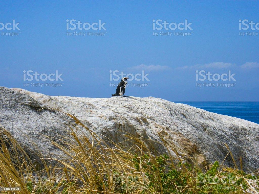 One Wild African Penguin on Rocks stock photo