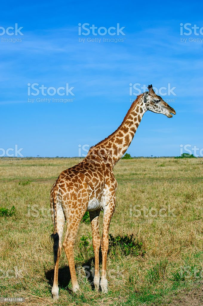 One Wild Masai Giraffe on the African Plains stock photo