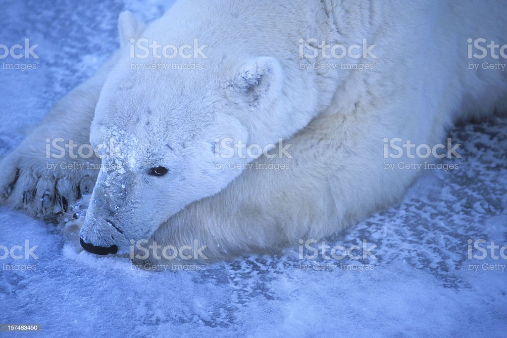 One Wild Polar Bear Lying on Icy Hudson Bay Shore royalty-free stock photo