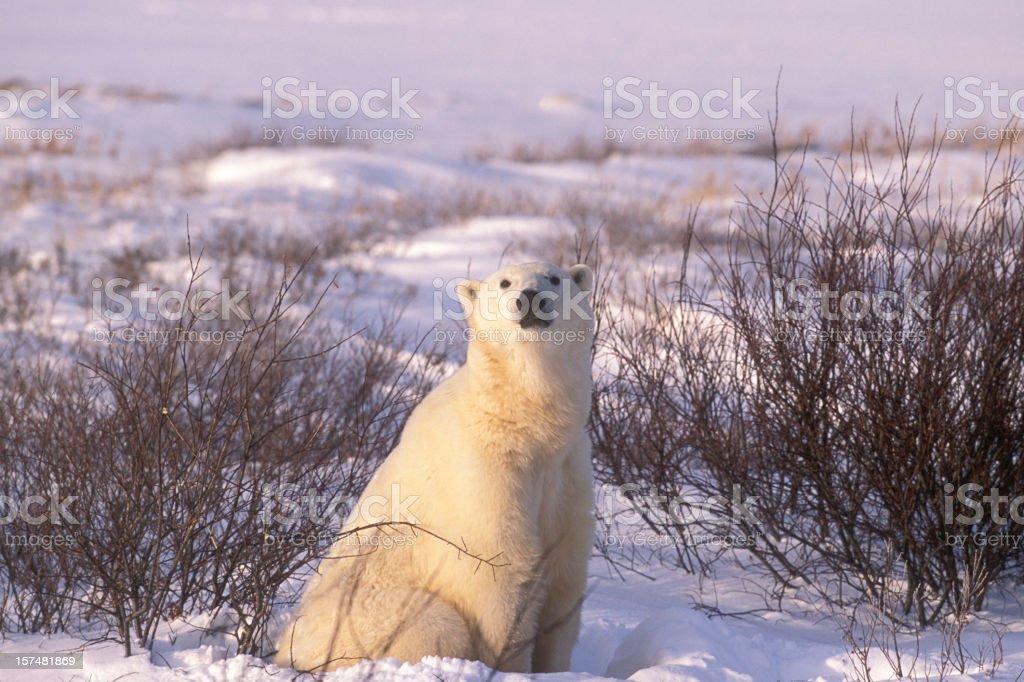 One Wild Polar Bear Sitting in Hudson Bay Willows stock photo