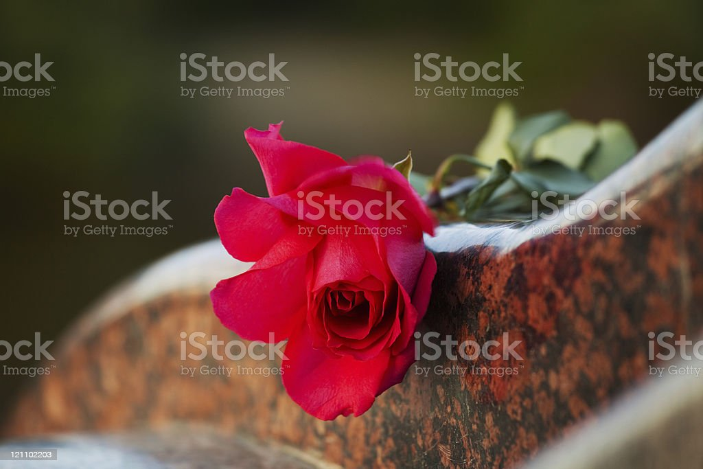 One wild rose on the tombstone royalty-free stock photo