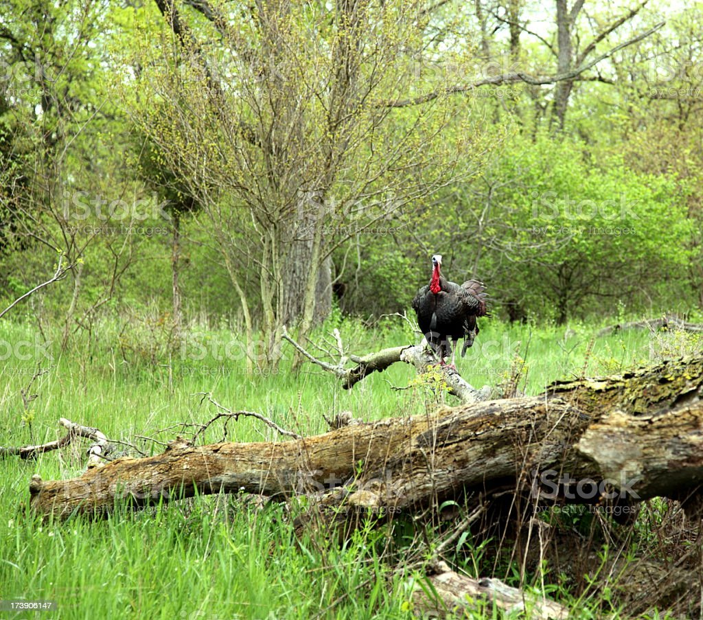One wild turkey out in the woods stock photo