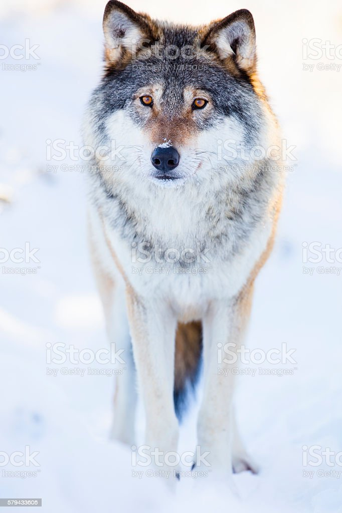 One wolf stands in beautiful winter forest stock photo