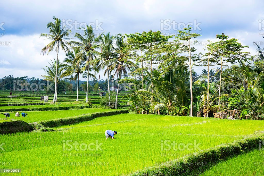 One woman is working in a rice field, Bali, Indonesia stock photo