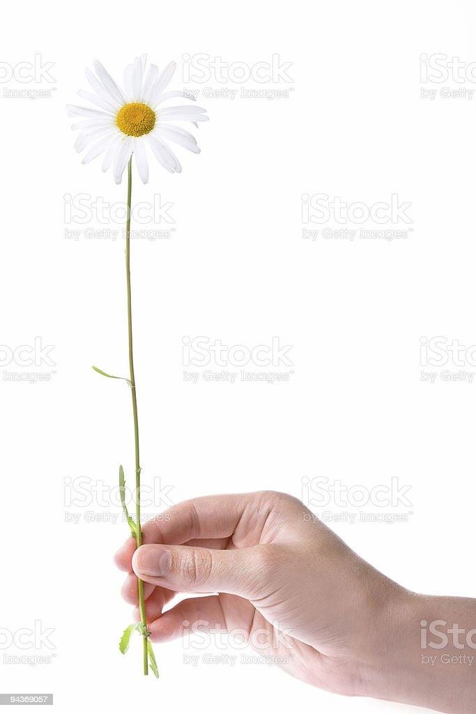 one women hand holding chamomile flower royalty-free stock photo