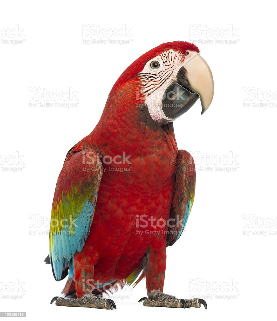 One year old Green-winged Macaw, Ara chloropterus on white stock photo