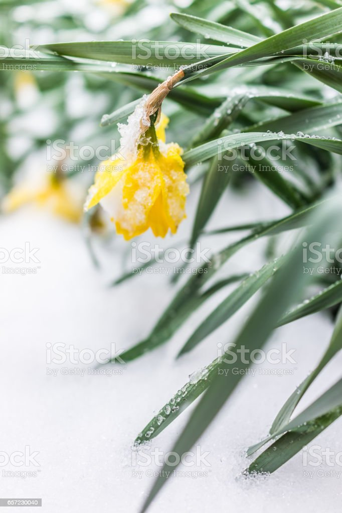 One yellow daffodil bulb covered in icy snow stock photo