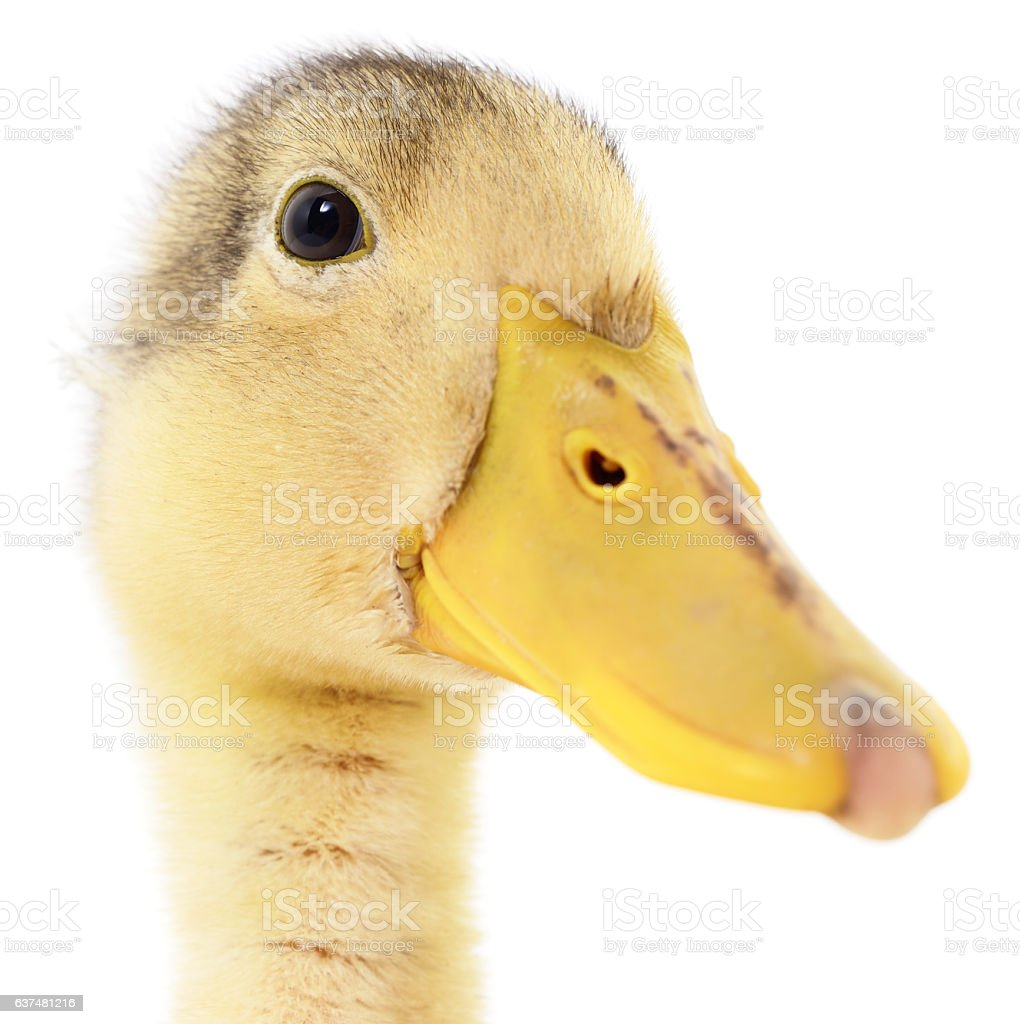 one yellow duckling stock photo