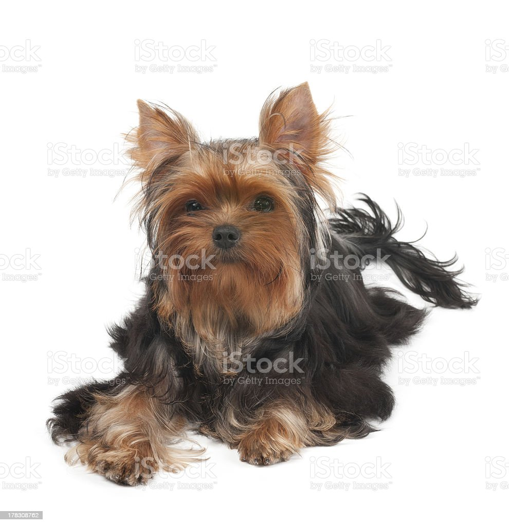 One Yorkshire Terrier with curly hair royalty-free stock photo