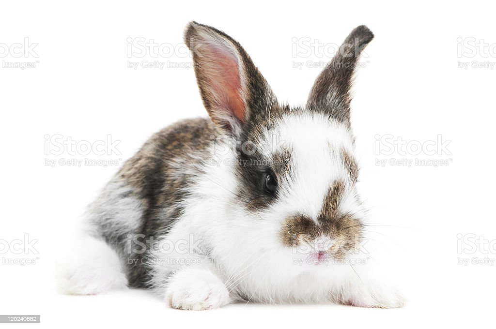 one young baby rabbit isolated stock photo