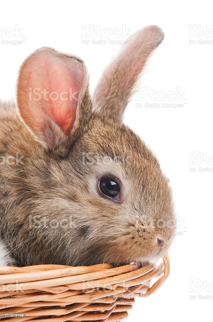 one young brown rabbit stock photo