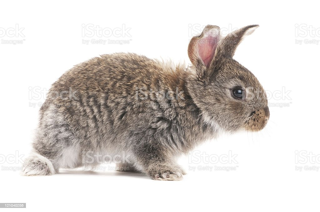one young bunny rabbit stock photo