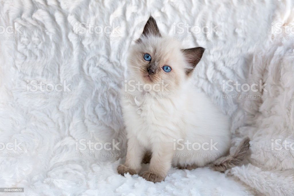 One young ragdoll cat sitting on fur in chair stock photo