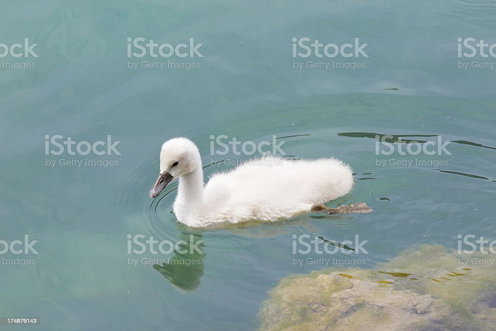 one young white swan bird in turquoise water Krka Croatia royalty-free stock photo