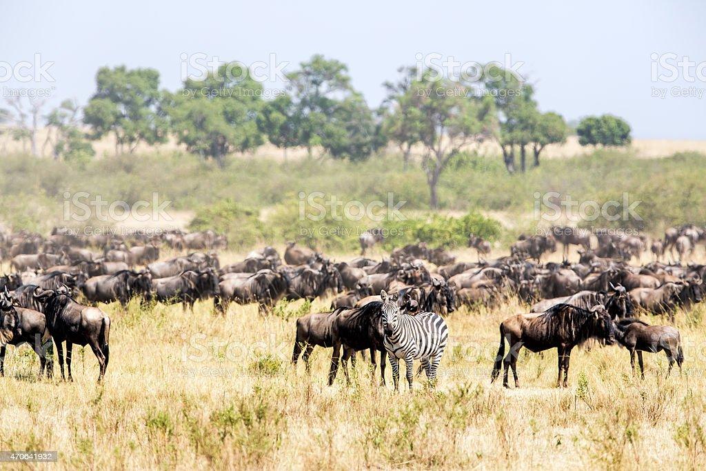 One Zebra with Wildebeest herd in great migration stock photo