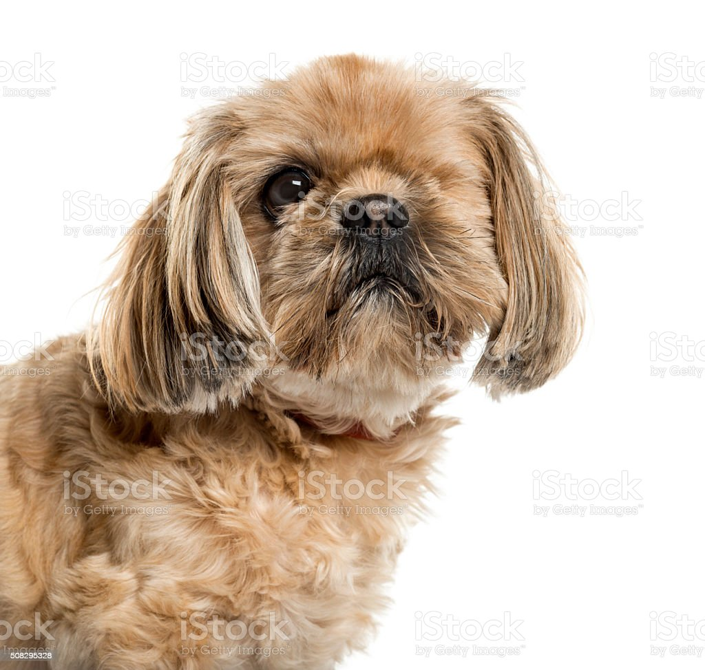 One-eyed Shih Tzu in front of white background stock photo