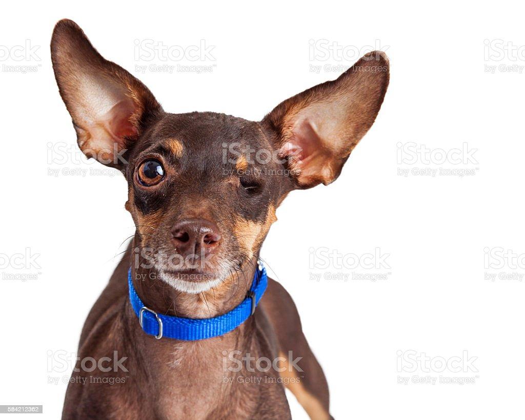 One-eyed Small Dog on White stock photo