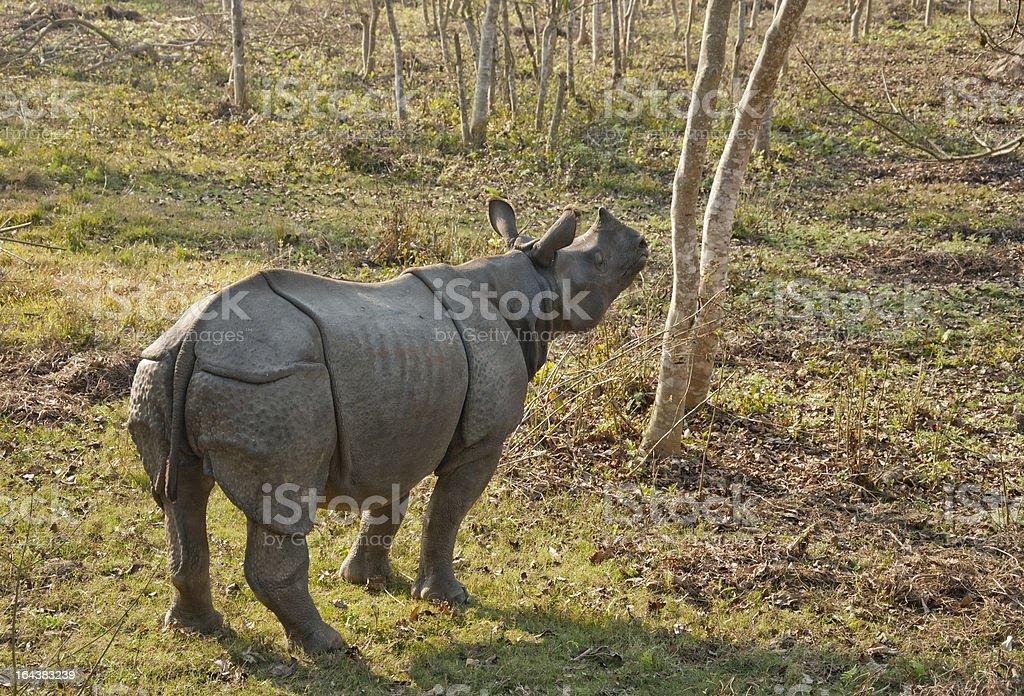 One-horned rhino stock photo