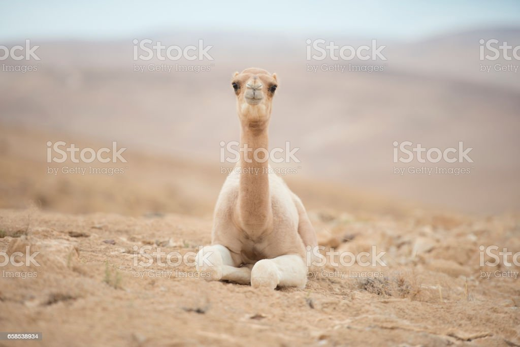 One-humped camel calf resting. stock photo