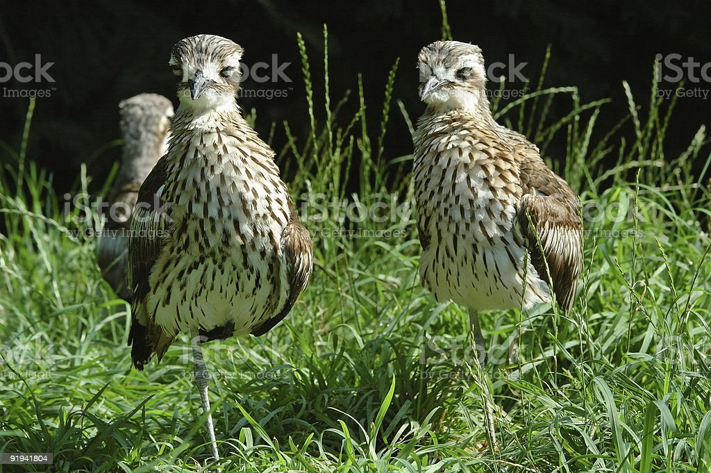 One-legged birds stock photo