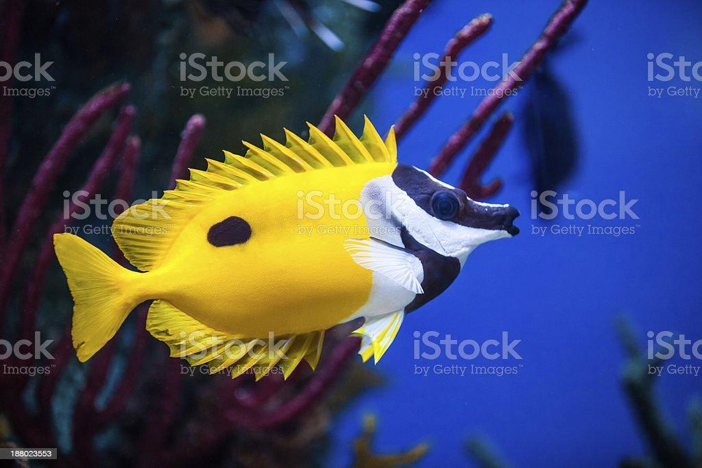 Onespot Foxface Rabbitfish Closeup in an Saltwater Aquarium stock photo