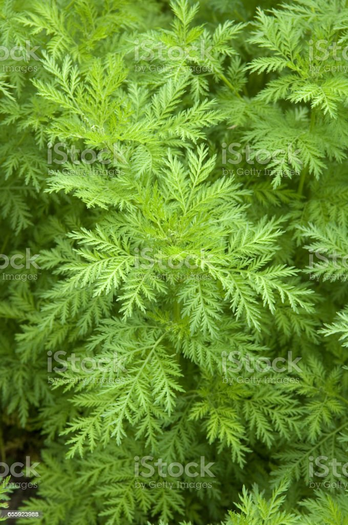 One-year; Artemisi; a annua; stock photo