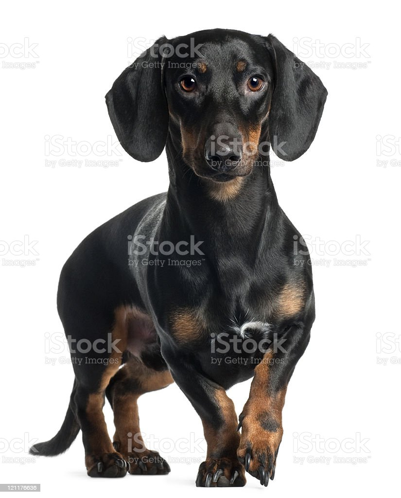 One-year-old black and tan Dachshund on white background stock photo