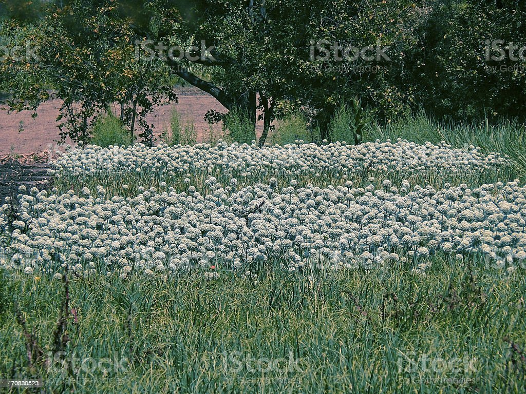 Onion Allium flowers stock photo