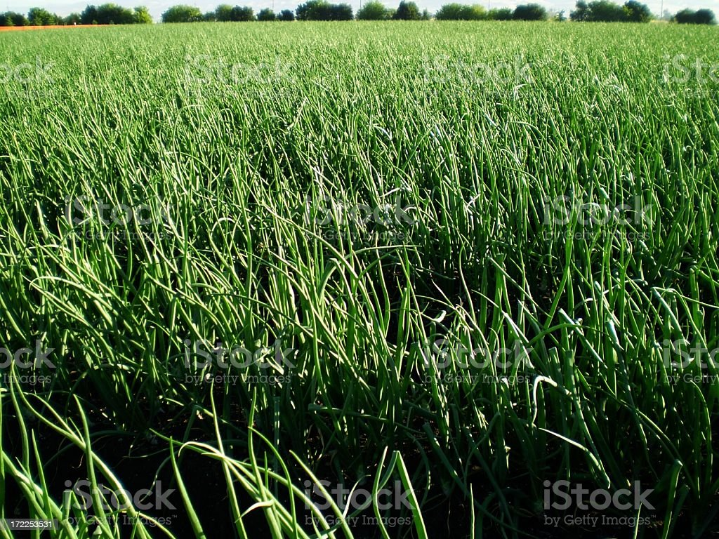 Onion field royalty-free stock photo