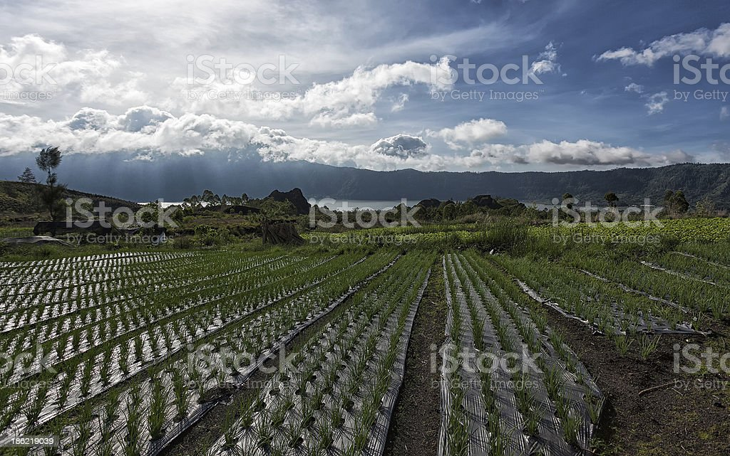 Onion Fields - Kintamani, Bali stock photo