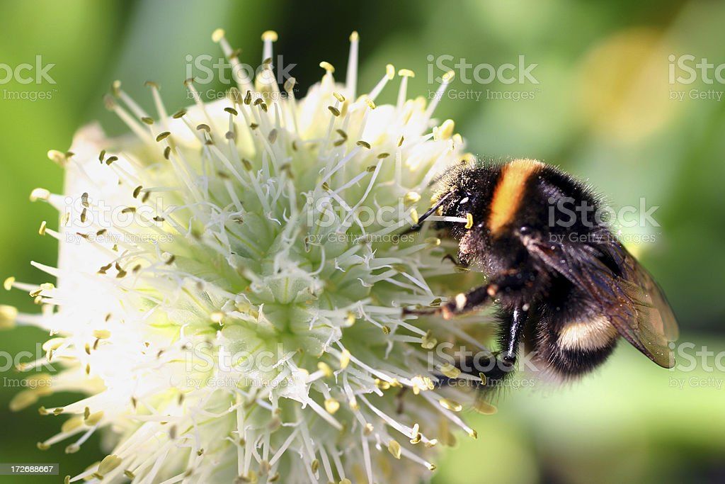 Onion flower - Allium nigrum  and its spring bee visitor royalty-free stock photo