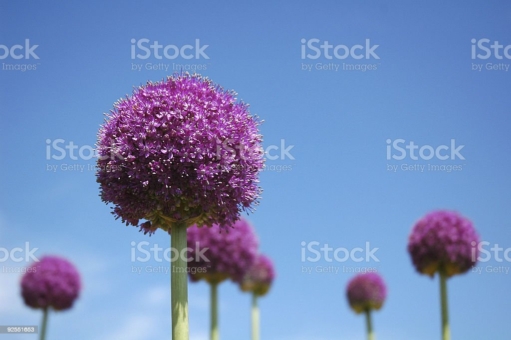 Onion Flower royalty-free stock photo
