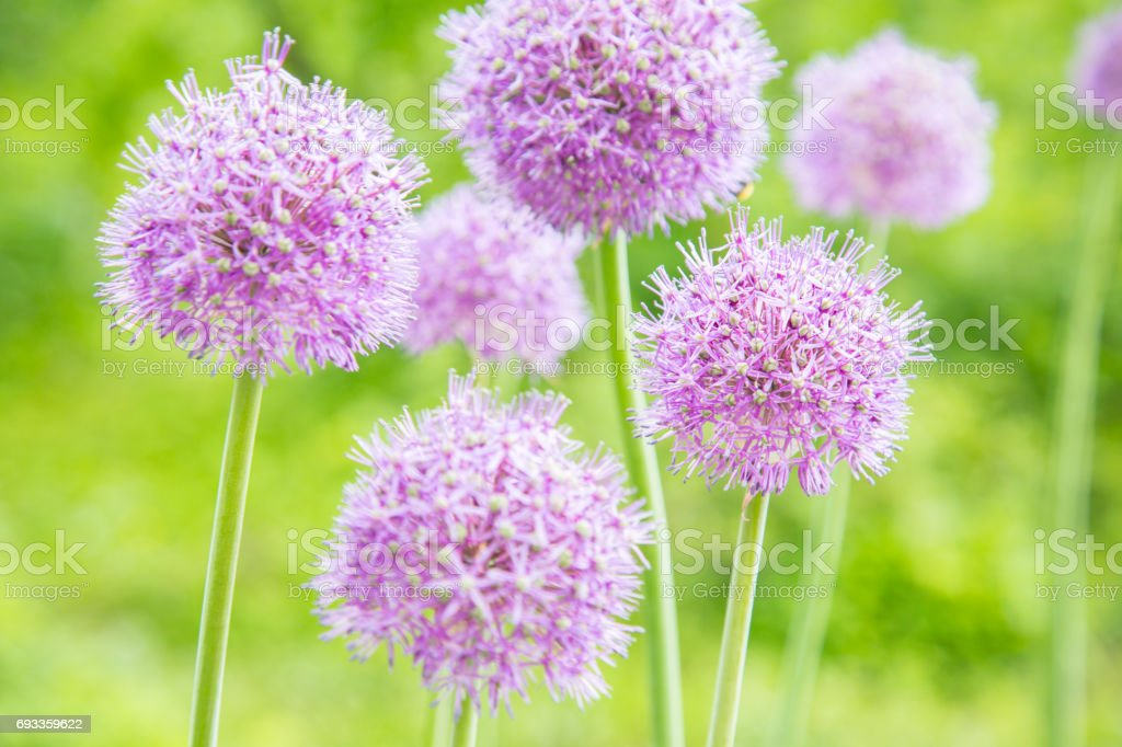 Onion flowers in a garden stock photo