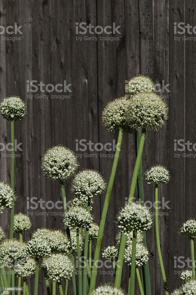 Flores de cebola foto royalty-free