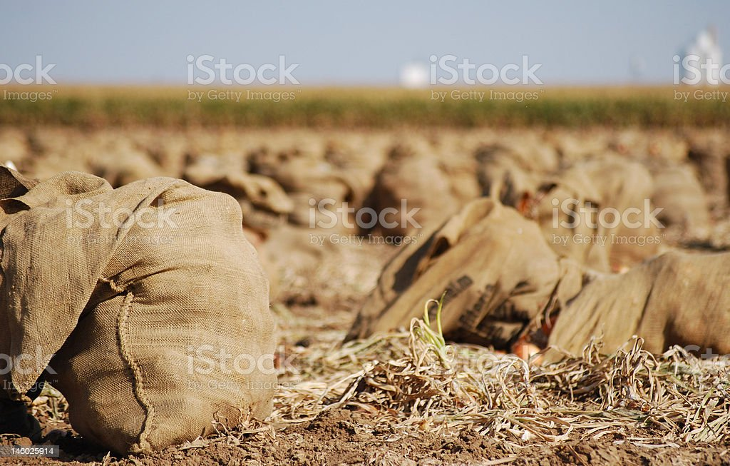 Onion Harvest royalty-free stock photo