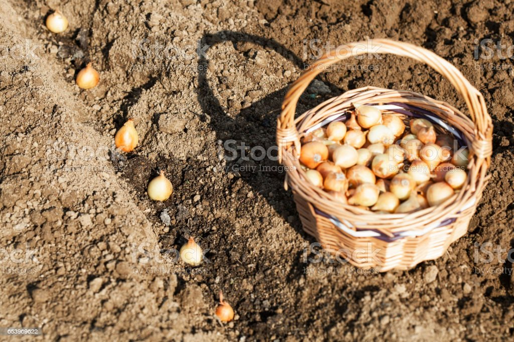 Onion in planting process stock photo