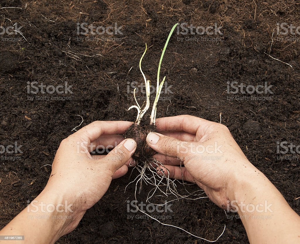 onion plant in the soil royalty-free stock photo