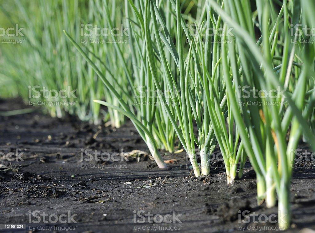 onion plantation after the rain stock photo