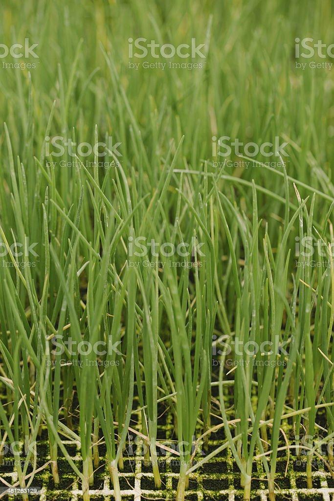 Onion seedlings royalty-free stock photo
